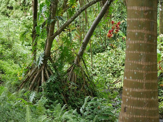 Princeville Botanical Gardens: Guess Which Is The Walking Tree And The Tree  With Many Eyes