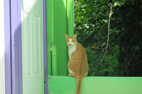 Saint Paul Parish, Antigua: Friendly kitty roaming the sanctuary