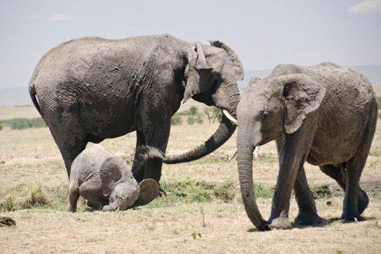 Great Plains Conservation Mara Plains Camp: Elephants at play