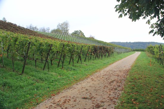 Vineyards just north of Gasthaus Sternen in Rafz