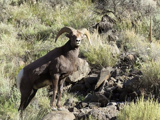 Touch the Southwest: Big horned sheep