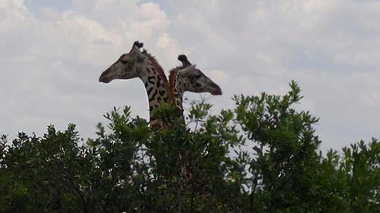 Pollman's Tours & Safaris: Giraffes on the Masai Mara