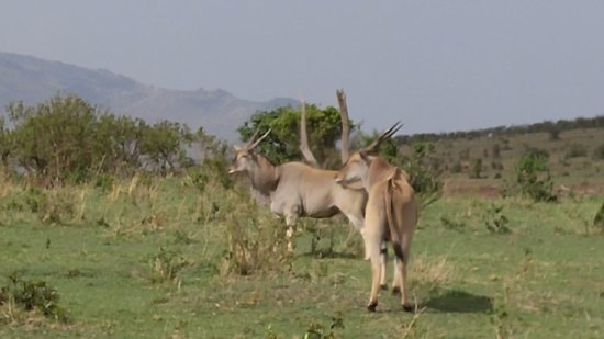 Pollman's Tours & Safaris: Love the antlers on the Mara!
