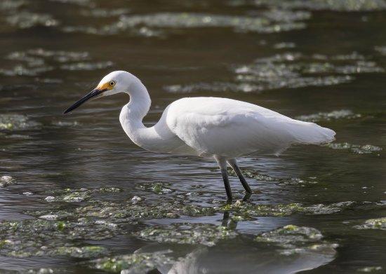 Pelham Bay Park: Snowy Egret