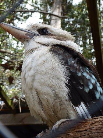 Mole Creek, Australia: Kookaburra