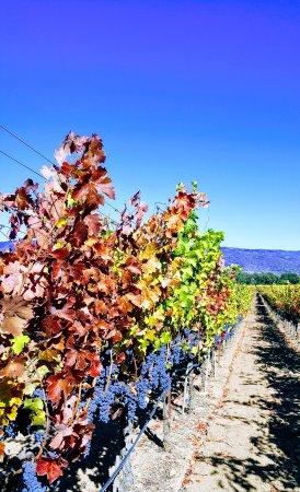 Napa Tour Shuttle : Cab sauv grapes ready for harvest
