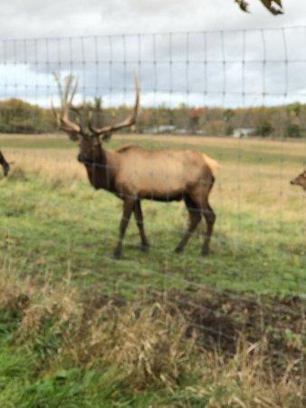 Hillman, MI: Elk bull