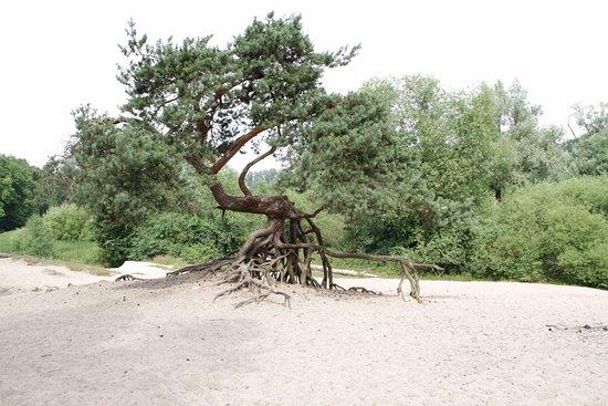 De Lutte, Niederlande: Bijzondere boom Lutterzand