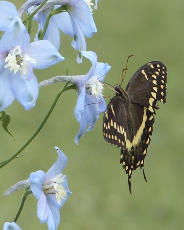 Theodore, ألاباما: Many butterflies on the flowers