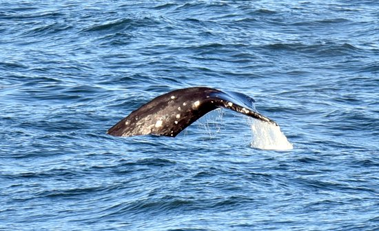 Inn at Arch Rock: Fluking Gray Whale