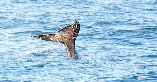 Inn at Arch Rock: Gray Whale Fluking