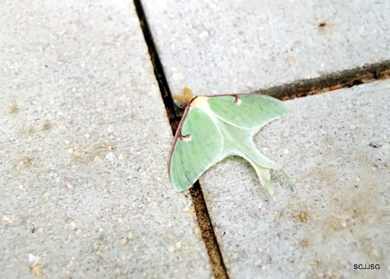 "Manitoba, Canada: Luna Moth, 4.5"" in size, one of the largest moth in North America"