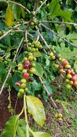 Coffee Berries Picture Of Green World Coffee Farms Wahiawa