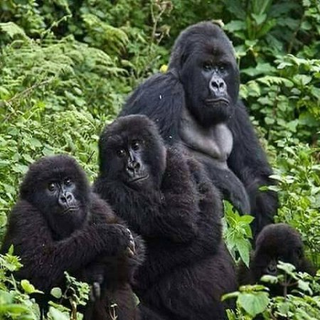 Mgahinga Gorilla National Park: We help clients track Gorillas contact us on whatsup +256789926165