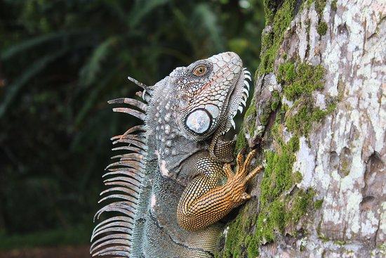 Puerto Jimenes, Costa Rica: Iguana