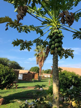 Camp Olowalu: Fruit trees all over the grounds