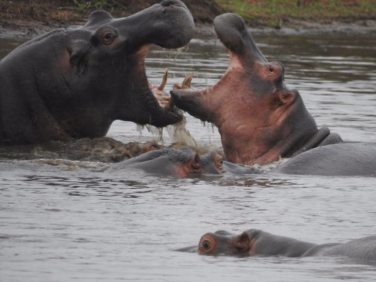 Lower Sabie Restcamp: Hippos within two minutes of Lower Sabie
