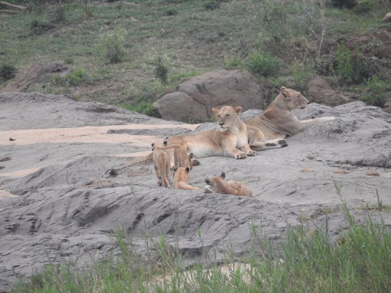 Lower Sabie Restcamp: Lower Sabie - Lion Pride