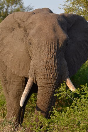 Lower Sabie Restcamp: Lower Sabie - Elephant