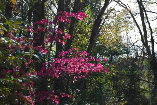 Connersville, IN: Burning bush, autumn at Mary Gray Bird Sanctuary