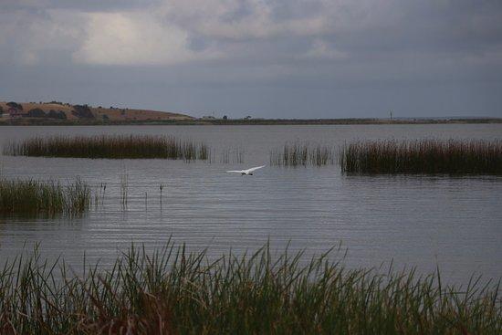 Lake Albert Caravan Park, Meningie SA: Egret