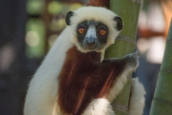 Anjajavy L'Hotel: Sifaka visiting at tea in the Oasis