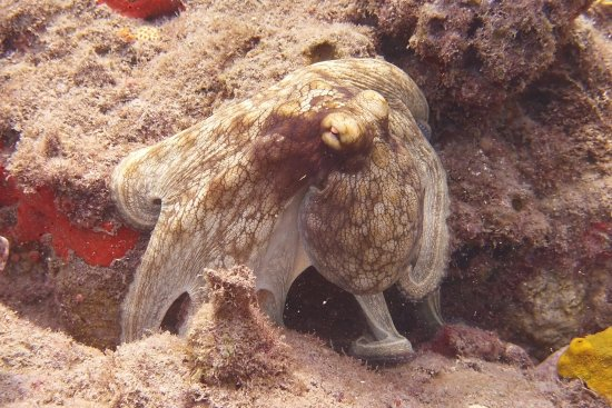 Windwardside, Isla de Saba: A posing octopus on tent reef!