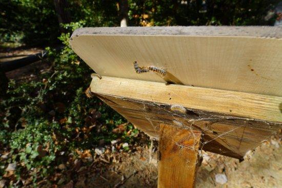 Montpellier-le-Vieux : Les chenilles partout