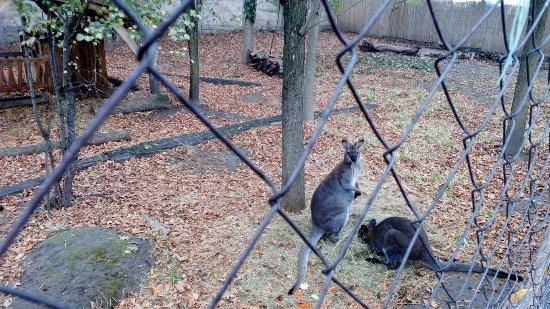 Hodmezovasarhely, Hungary: Two of the kangaroos/wallabies