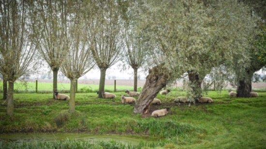 Alveringem, Belgium: Onze boomgaard met schaapjes.