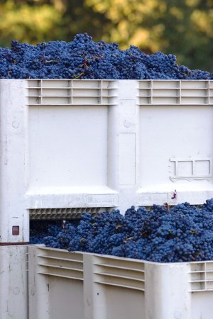 Templeton, CA: Harvest at the Vineyard