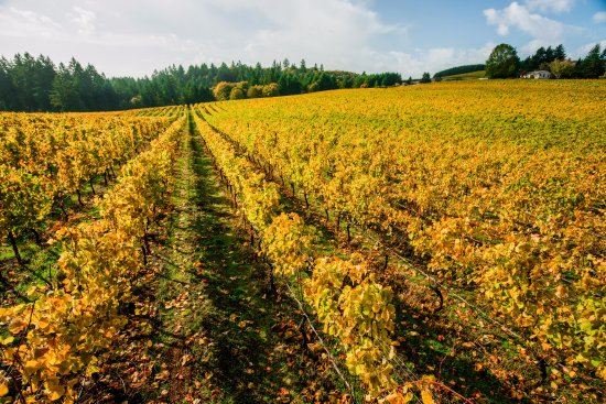 Dundee, OR: Lange Estate's vineyard is planted to Pinot noir, Pinot gris and Chardonnay.