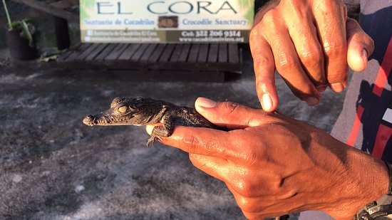 Santuario de Cocodrilos El Cora: Baby croc