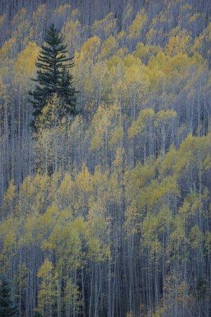 Mountain Village, Colorado: aspens near telluride, CO ~ 10/7/2017
