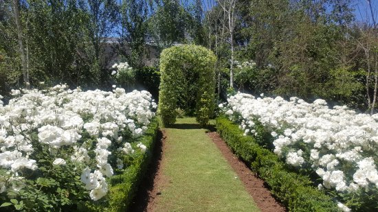 Queenstown, South Africa: The iceberg roses in bloom at Roche House