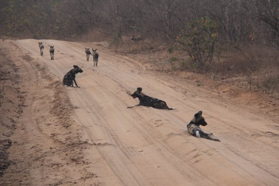 Lindi Region, Tanzania: Member of a pack of endangered African Wild Dogs, relaxing on the road in Selous Game Reserve