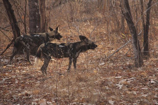 Lindi Region, Tanzania: A couple of African wild dogs (or painter dogs, or painted wolves)