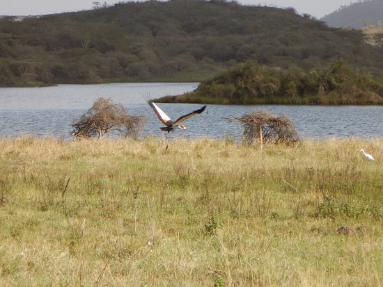 Hatari Lodge: Golden cranes near the Momello Lakes.There are hippos and flamingos here also.