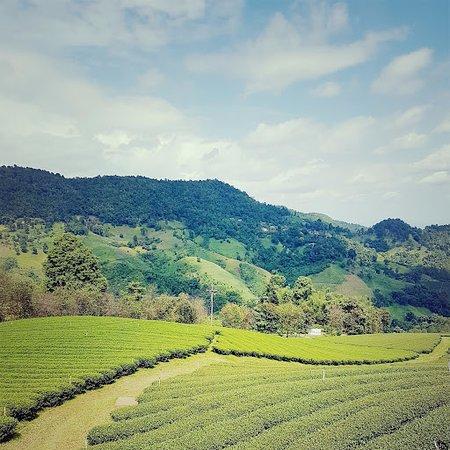 ดอยแม่สลอง: Tea plantation
