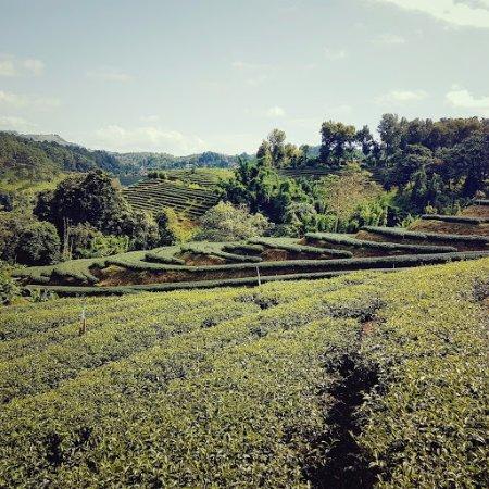 ดอยแม่สลอง: Another tea plantation