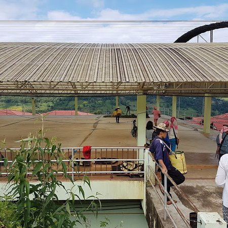 Doi Mae Salong: time to dry the leaves
