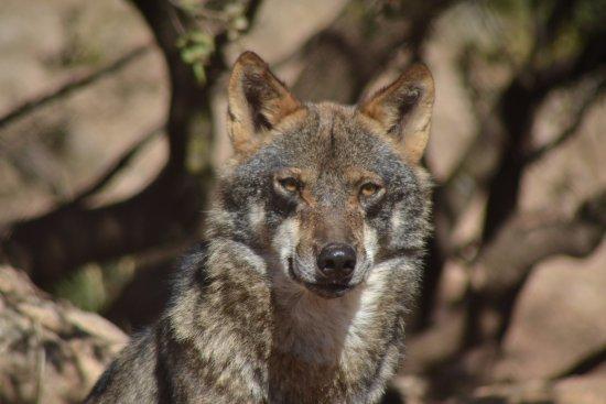 Lobo Park: european wolf