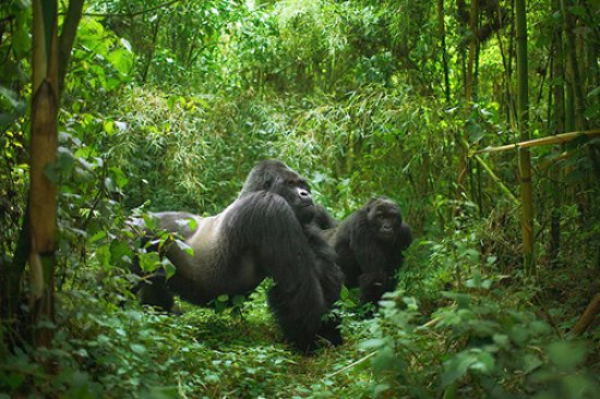 Bwindi Impenetrable National Park:  Shy Endangered Mountain Gorillas