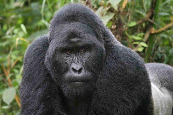Bwindi Impenetrable National Park: Silverback Gorilla in Bwindi Impenetrable Forest
