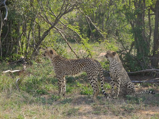 Mala Mala Private Game Reserve, South Africa: Brothers looking at a potential meal :-)