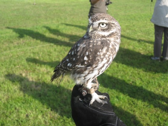 Congresbury, UK: A delightful little owl!