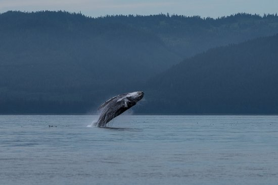 Hoonah, AK: Humpback whale breeching