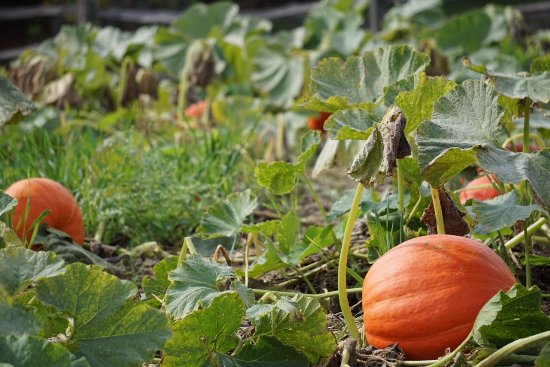 George Washington's Mount Vernon: Vegetable garden