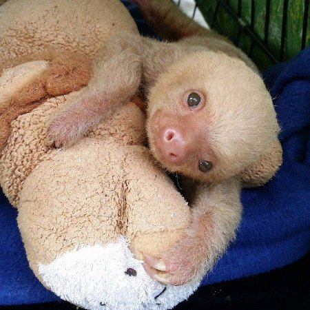 Dominical, Costa Rica: Baby two toed sloth