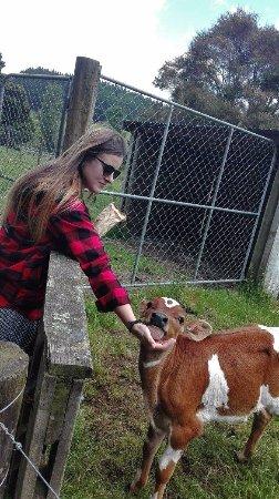 Warkworth, Nowa Zelandia: Curious little calf